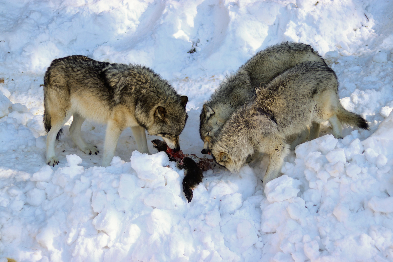 loups gris parc Oméga