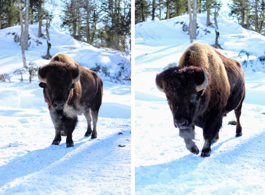 bison parc Oméga